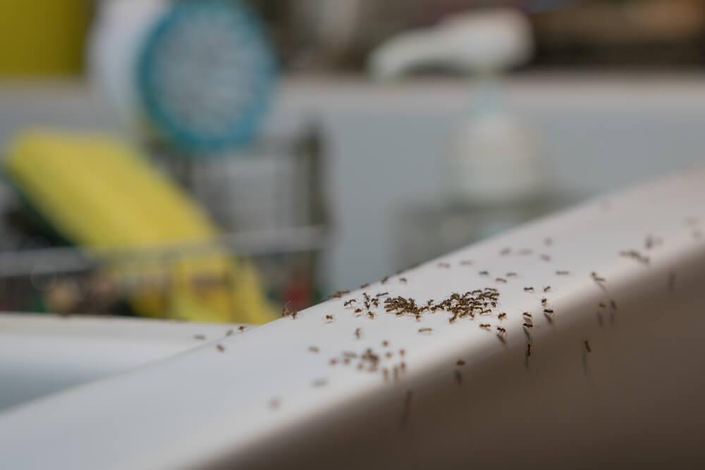 Cara Alami Mengusir Semut di Rumah, Simak Yuk!