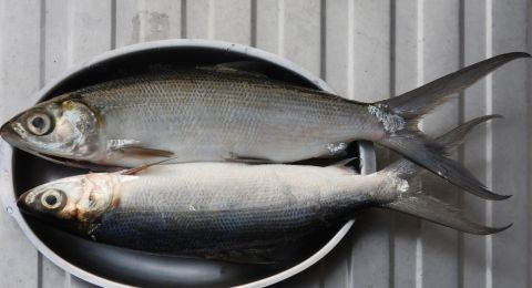 Jenis Ikan untuk MPASI